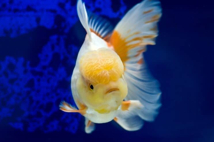 Oranda Goldfish Swimming