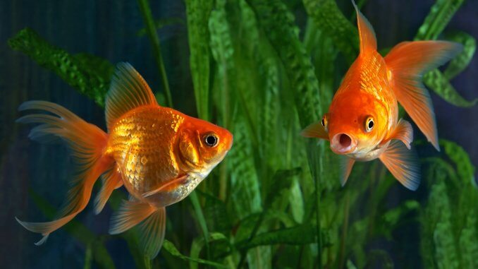 5 Best Goldfish Tanks What To Know Before Buying Banner