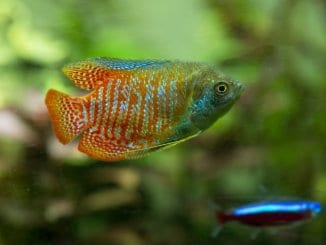 Dwarf Gourami Guide Is This Bright Colorful Fish For You Banner