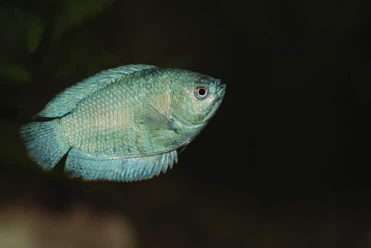 Dwarf Gourami Swimming