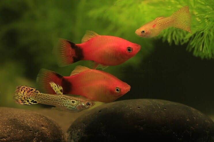 Guppy and Platy