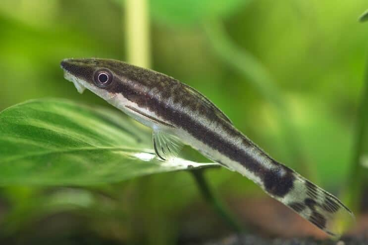 Otocinclus Care
