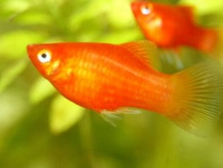Platy Fish The Complete Care Guide Banner