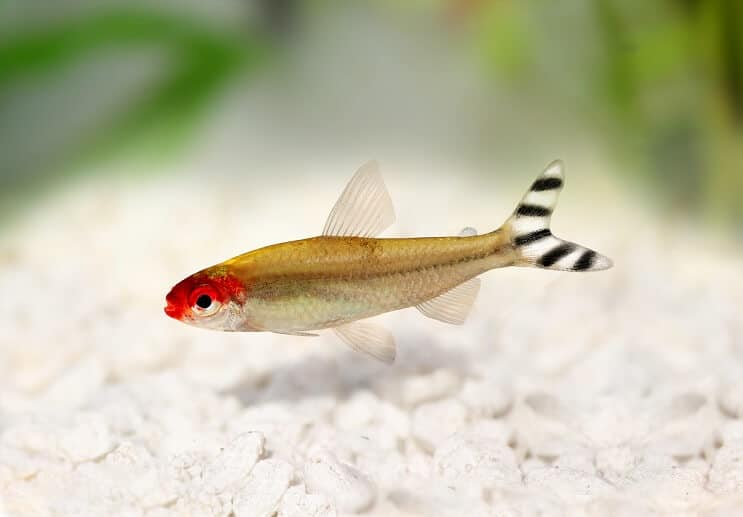 Rummy Nose Tetra Appearance