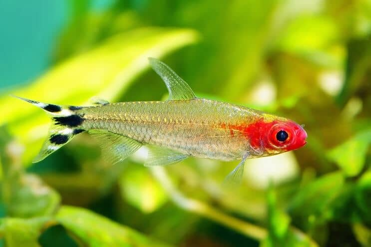 Rummy Nose Tetra Swimming