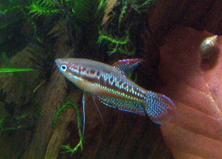 Sparkling Gourami Swimming