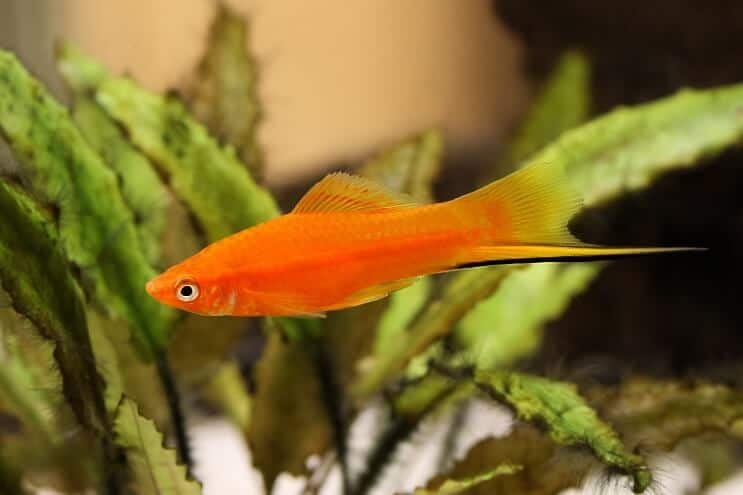 Swordtail Platy Fish