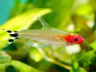 The Ultimate Rummy Nose Tetra Care Guide Breeding, Tank Mates and More Banner