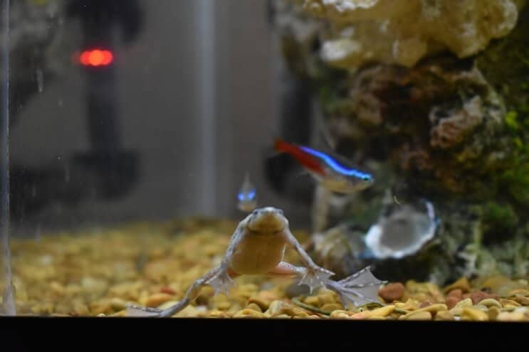 African Dwarf Frog and Neon Tetra
