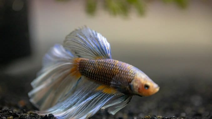 Best Betta Fish Food A Complete Guide To Selecting And Feeding Banner