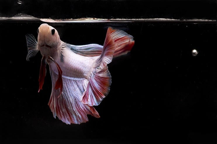 Betta Fish Eating