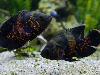 10 Beautiful Types Of Oscar Fish Banner