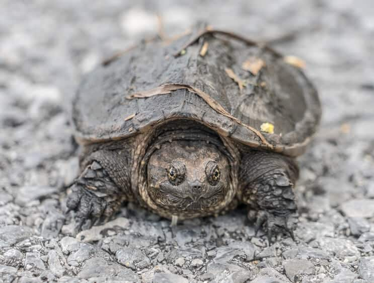 A Baby Snapping Turtle