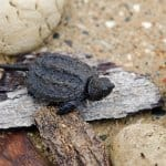 Baby Snapping Turtle: Complete Care Guide and Breed Info ...