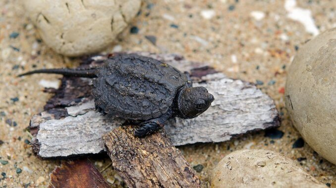 Baby Snapping Turtle Complete Care Guide and Breed Info Banner