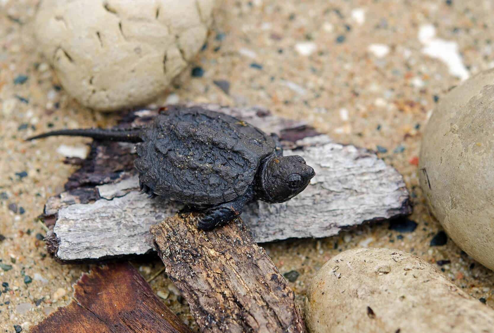 Baby Snapping Turtle Complete Care Guide And Breed Info Fishkeeping World