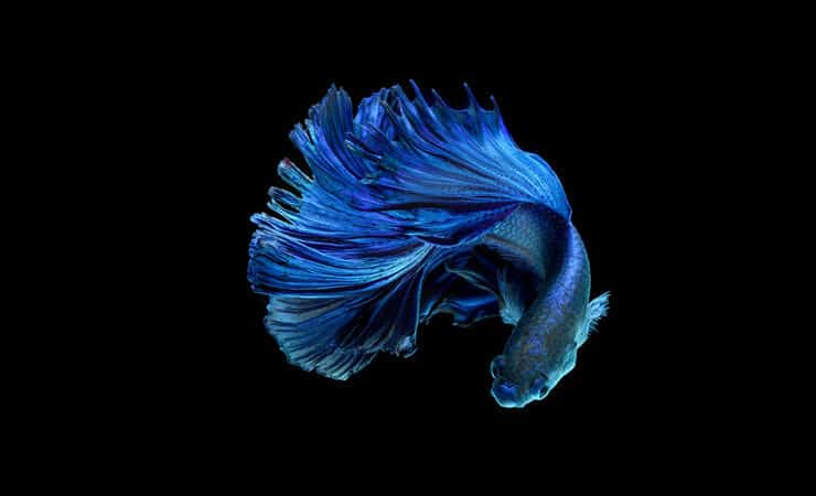 Poisson Betta bleu
