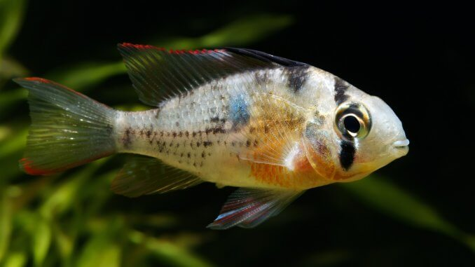 Bolivian Ram Is This Peaceful Cichlid Perfect For Your Aquarium? Banner