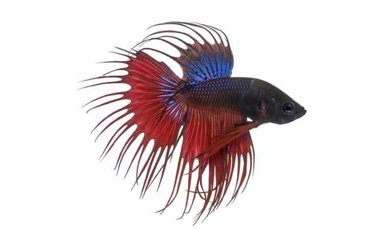 poisson combattant Crowntail Betta