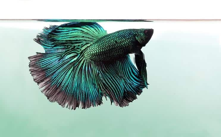 Betta en écailles de dragon