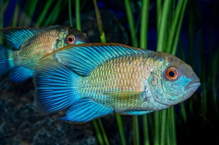 Electric Blue Acara Appearance