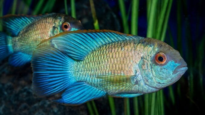 Electric Blue Acara The Bright Blue Cichlid Ideal For Beginners Banner