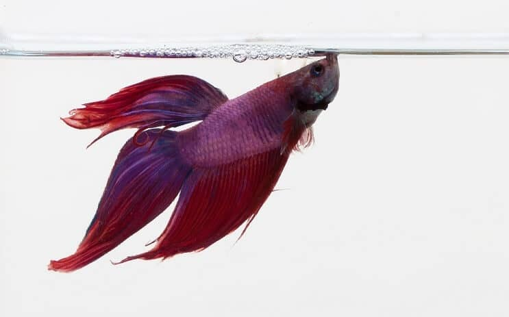 Betta pourpre