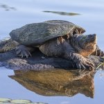 Snapping Turtle on Rock