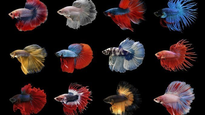 Types of Betta Fish Which is the Perfect One for You? Banner