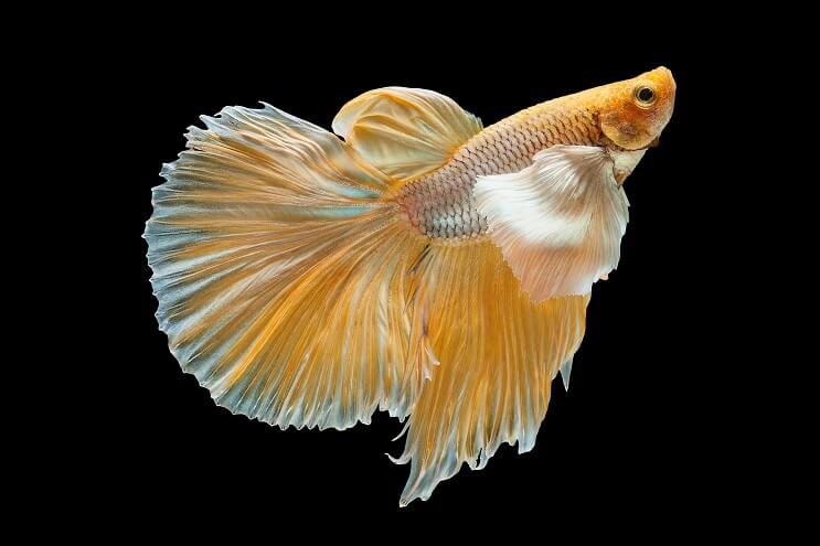 Types Of Betta Fish 2021 Which Is The Perfect One For You Fishkeeping World
