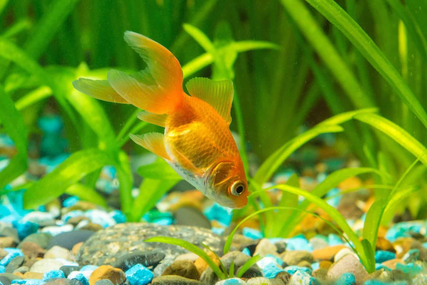 Best Goldfish Food The Complete Guide To Feeding Your Goldfish Fishkeeping World