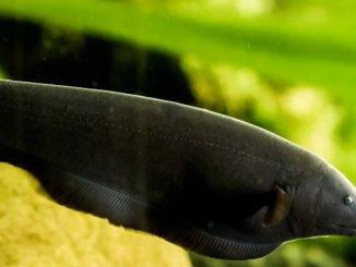 Black Ghost Knifefish Care Guide All You Need To Know Banner