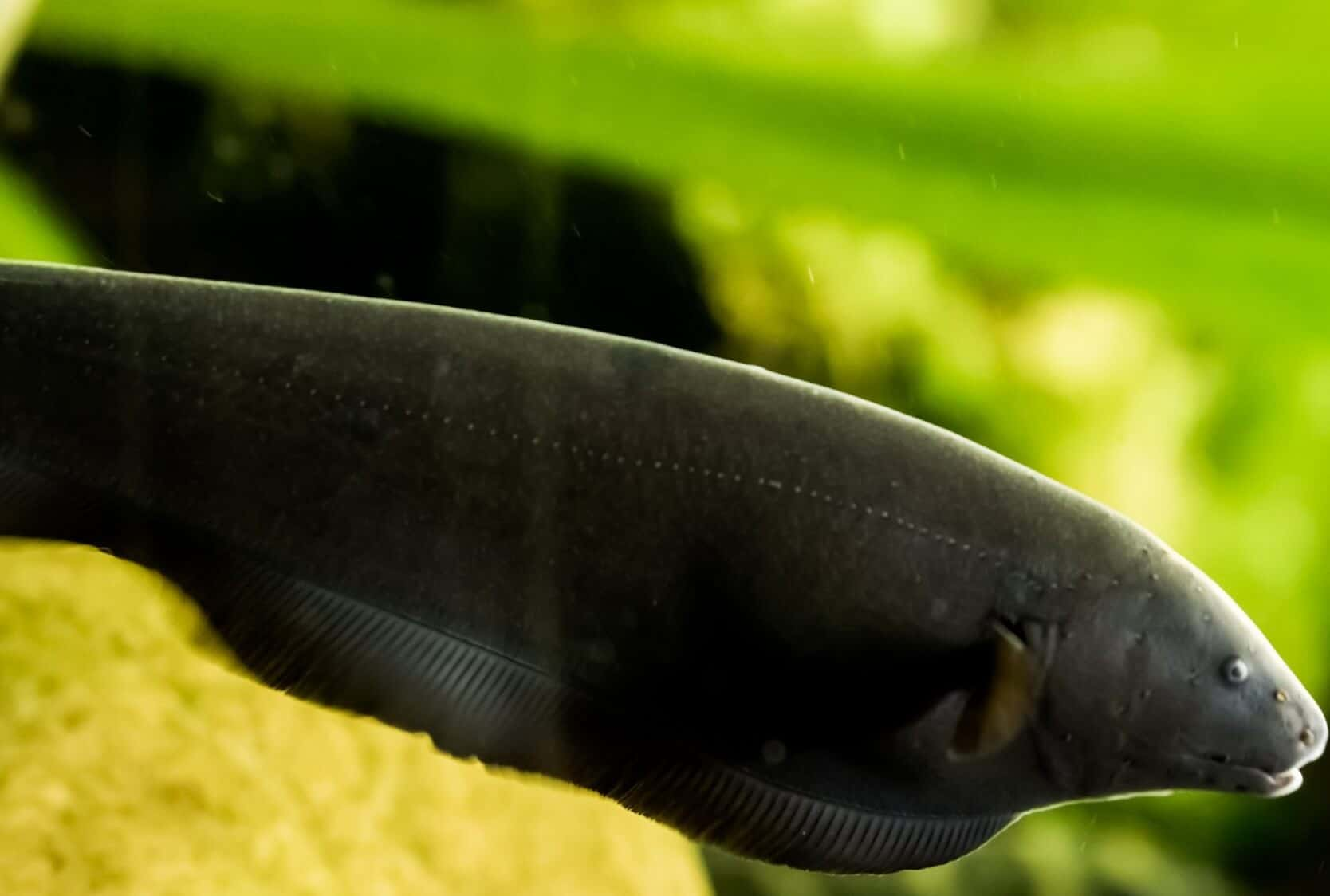 Black Ghost Knifefish Care Guide: All You Need To Know - Fishkeeping World