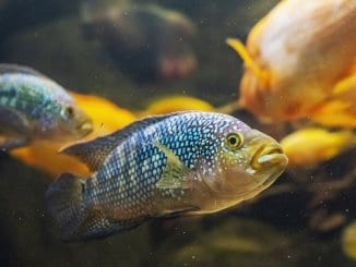 Jack Dempsey Fish Care Guide Is This The Right Cichlid For You? Cover
