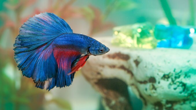 The Complete Betta Fish Care Guide All You Need To Know Cover