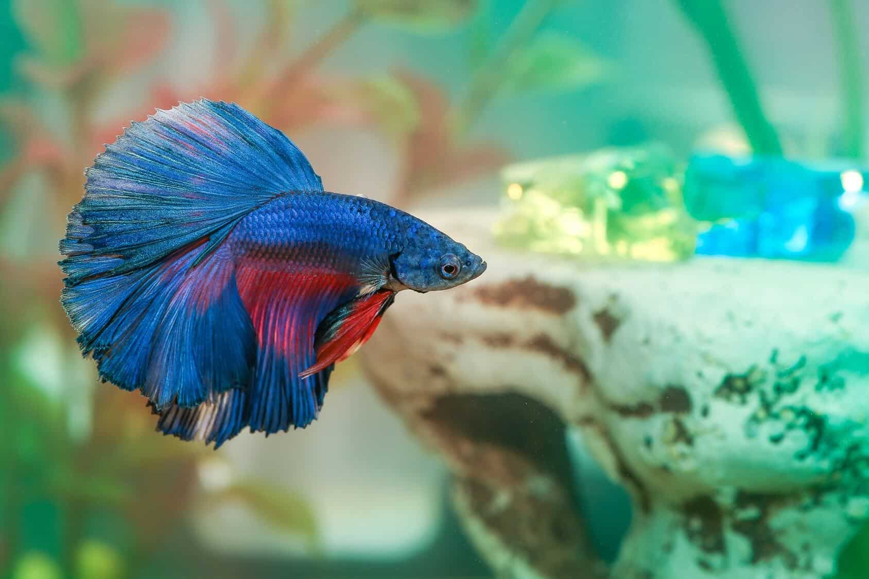 The Complete Betta Fish Care Guide All You Need To Know Fishkeeping World