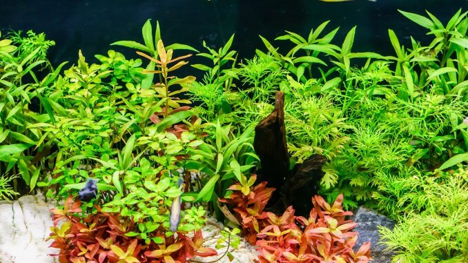 12 Best Aquarium Plants Floating, Low Light, Easy Care and More... Cover
