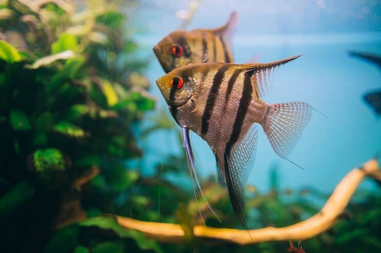 fresh water angel fish diet