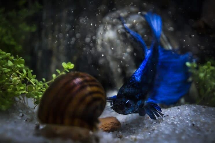 Betta and Snail