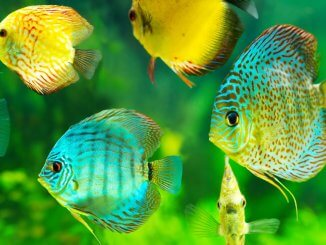 Discus Fish Ultimate Care Guide The King Of The Aquarium? Banner