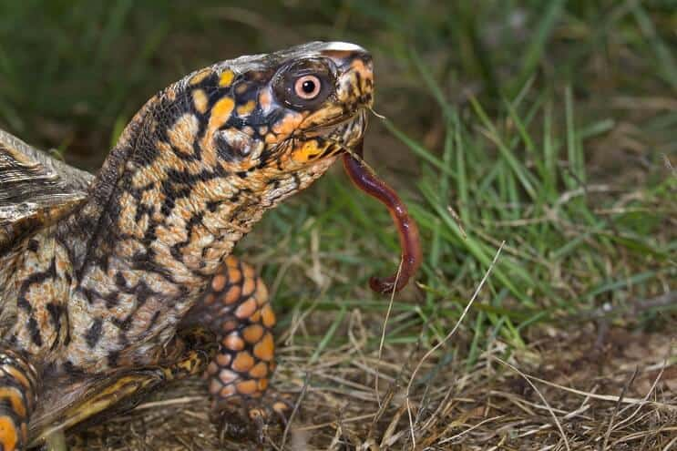 Eastern Box Turtle Diet