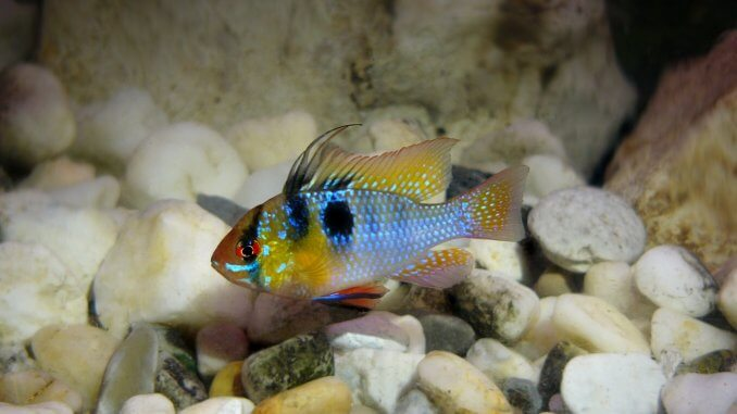 German Blue Ram Complete Guide The Perfect Community Cichlid? Cover