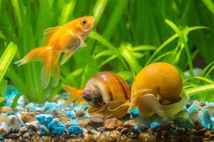 Snails in Aquarium