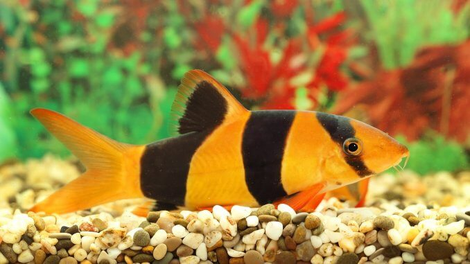 The Clown Loach Care Guide A Playful Bottom Dweller For Community Tanks Cover