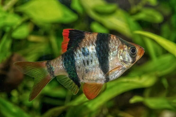 Tiger Barb Appearance