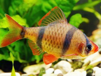 Tiger Barb Breed Profile Complete Guide For These Playful Stripy Fish Banner