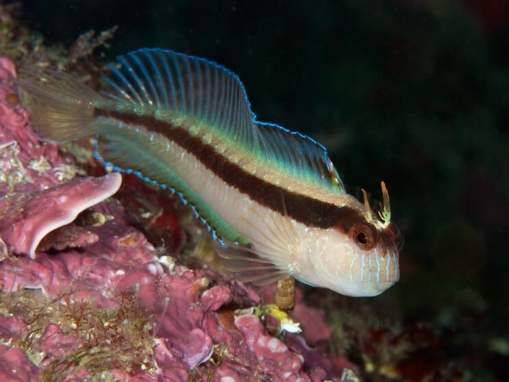 White Blenny