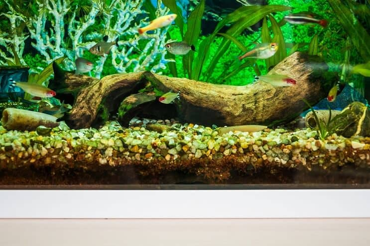 White Cloud Mountain Minnow Tank Mates
