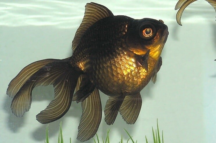 Black Moor Goldfish Appearance
