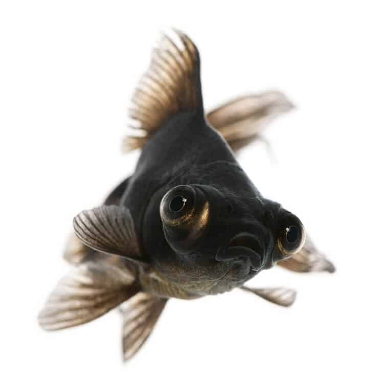 Black Moor Goldfish Care